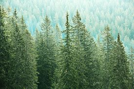 pic of ecosystem  - Healthy big green coniferous trees in a forest of old spruce fir and pine trees in wilderness area of a national park - JPG