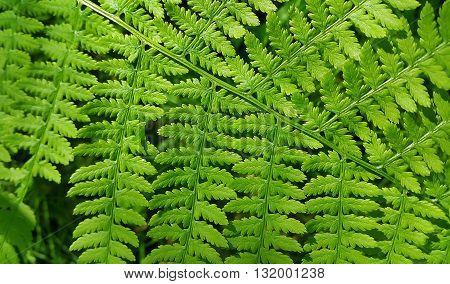 Fresh green leaf of fern close up