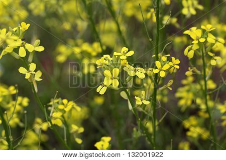 Flowers of Erysimum crepidifolium a poisonous plant from Central Europe.