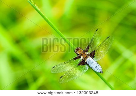 Broad-bodied chaser Male - Libellula depressathe or Broad-bodied darter is one of the most common dragonflies in Europe and central Asia.