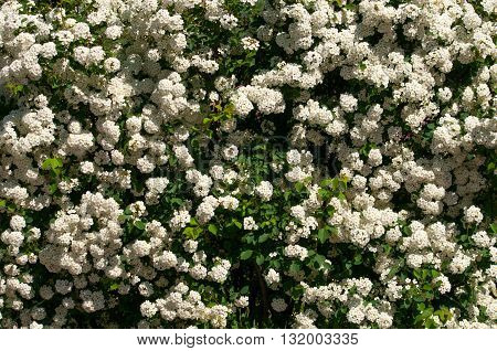 Spiraea alpine spring bush in blossom flowers