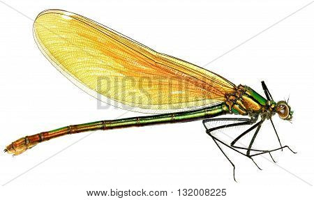 Banded Demoiselle on white Background  -  Calopteryx splendens (Harris, 1780)