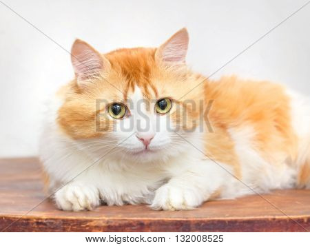 Adult red cat thoughtfully looking at light background