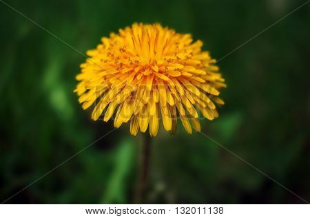 wild flower dandelion. summer yellow flower on a blurred background.