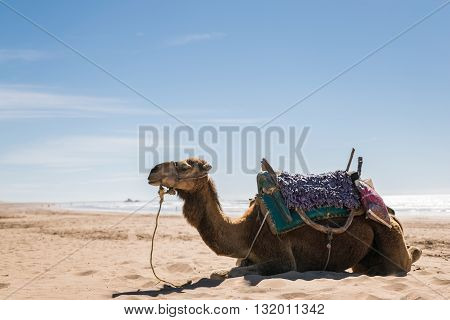 Arabian camel lying on the beach waiting for tourists on a sunny day with blue sky