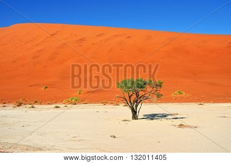 Green Camelthorn Trees against an orange dunes and blue sky in Deadvlei Sossusvlei. Namib-Naukluft National Park Namibia Africa