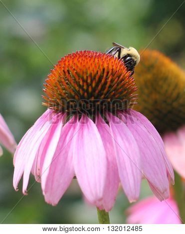 A bee collects nectar on a blossoming flower