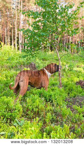 brown, breed, gnaws, the dog, the wood, the boxer, a tree a background, green a grass, breaks a tree, young smells a tree, a coniferous background