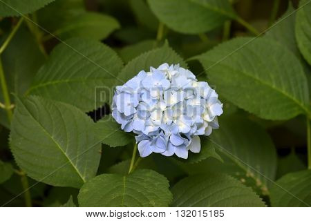 Endless Summer Blue Hydrangea Flower background image