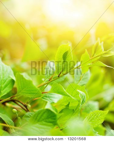 Green leaves at sunny day