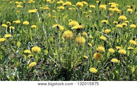Many yellow flowers dandelions on a sunny day