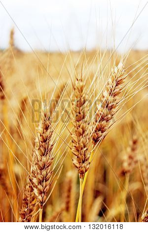 ripe spikelets of the wheat on the field
