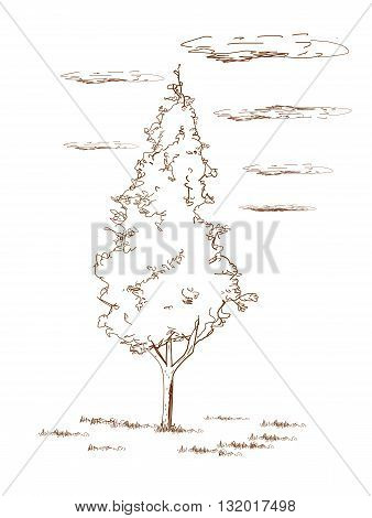 Thuja tree, drawing design  - vector illustration