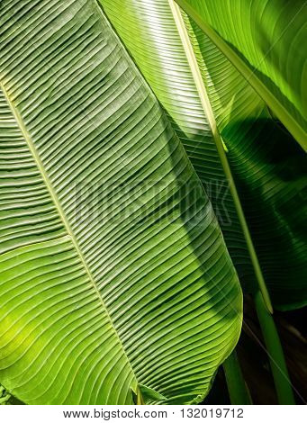 Green Banana leaf backlit sun - abstract background.
