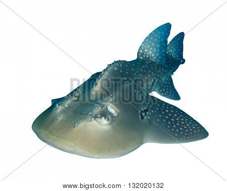 Bowmouth Guitarfish (Shark Ray, Guitar fish) isolated on white background