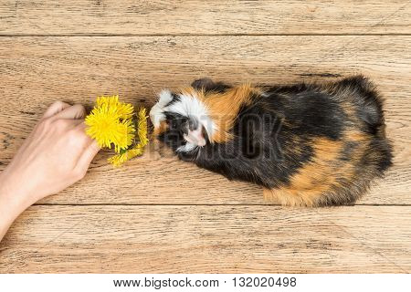 Female hand gives a bouquet of dandelions guinea pig which stands on a wooden board top view