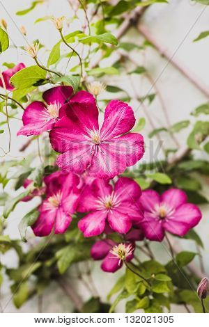 Blossoming purple flowers of Clematis in the garden