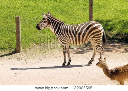 Zebra, mammal of Perissodactyla, belonging the equidae family.