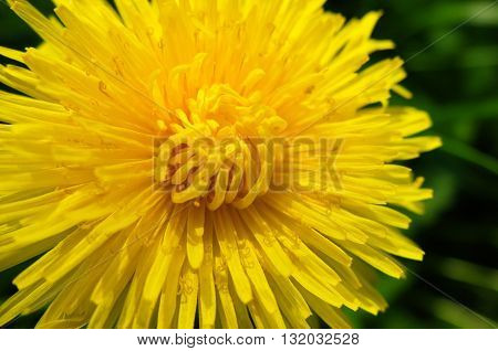 Large bright yellow dandelion. Nature blossoms in the spring in parks and gardens. Macro of a dandelion flower.