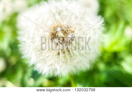 Cute fluffy white dandelion. Dandelion flower with seeds. Nature blossoms in the spring in parks and gardens.