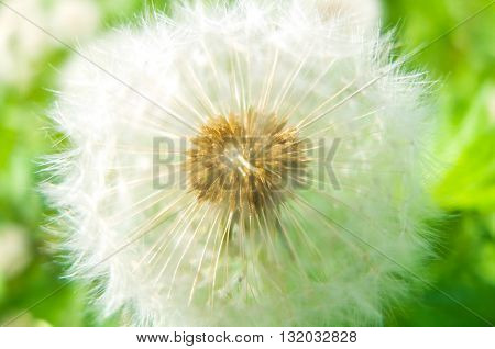 Fluffy white dandelion. Dandelion flower with seeds. Nature blossoms in the spring in parks and gardens.