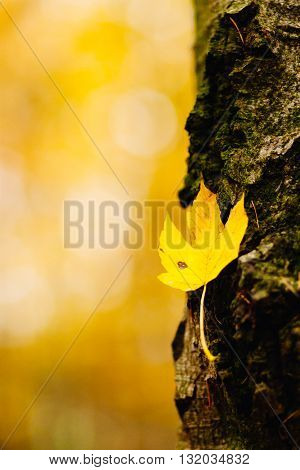 Yellow Autumn Leaf On A Tree Trunk With Bark