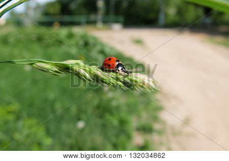 Red ladybug on a blade of grass. Cute beautiful insect. The insect specks.