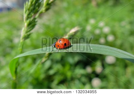 Cute Ladybug on leaf, beautiful insect. The insect specks.