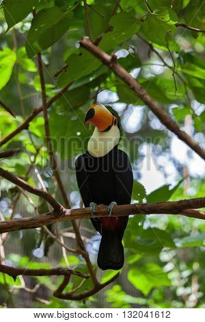 Toco toucan in a zoo of exotic tropical birds. Large bird with bright plumage and a huge yellow beak