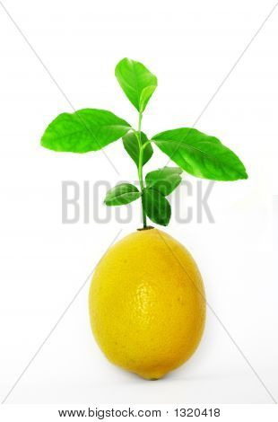 Impossible Lemon Tree