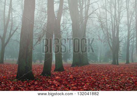 Foggy autumn landscape - autumn bare trees in the park in dense fog