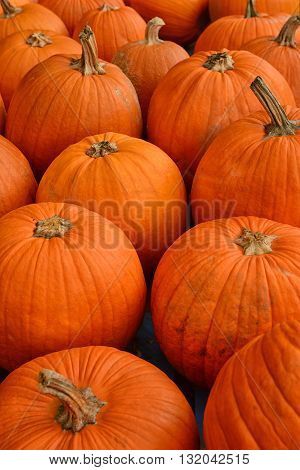 pumpkin patch in the autumn before halloween