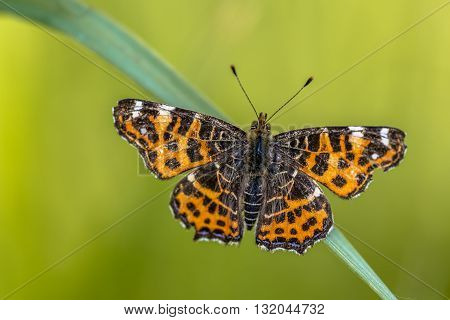 Map Butterfly Spring Brood