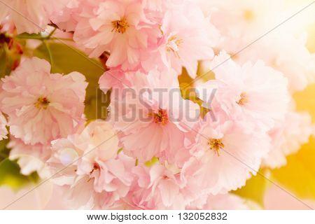 Blossoming sakura tree on blurred nature background