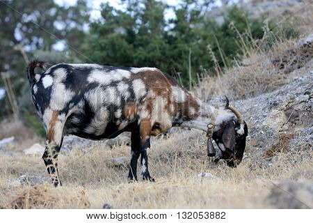 Fanny goat on mountain pasture
