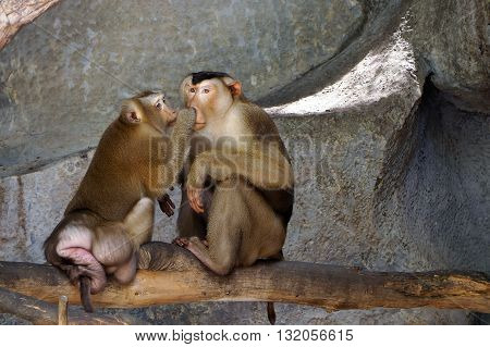 Family of pig-tailed macaque in thailand. Wildlifeใ