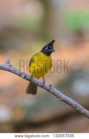 Beautiful Bird Black-crested Bulbul