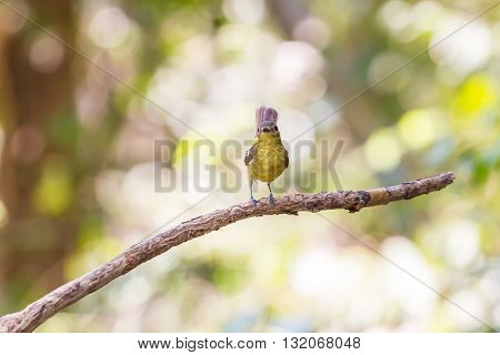 Female Yellow-rumped Flycatcher (ficedula Zanthopygia) In Nature