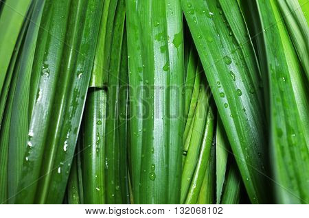 Green fresh pandan leaves as natural background
