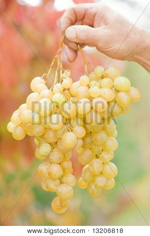 Human hand holding bunch of grapes