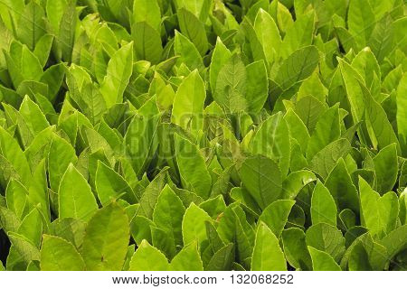 Camphor lush foliage growth in spring sunshine