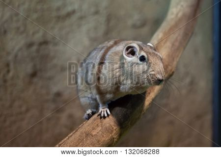 Common gundi (Ctenodactylus gundi). Wildlife animal.