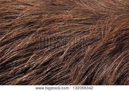 Forest sitatunga (Tragelaphus spekii gratus), also known as the forest marshbuck. Skin texture. Wildlife animal.