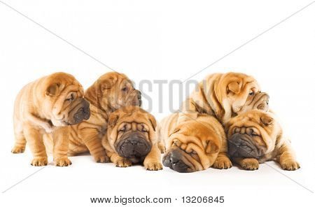 Group of beautiful sharpei puppies isolated on white background