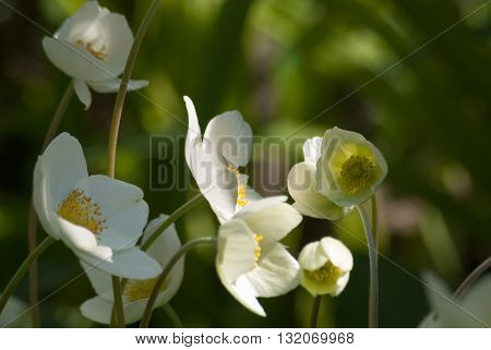 White anemones in early morning on blurred nature background