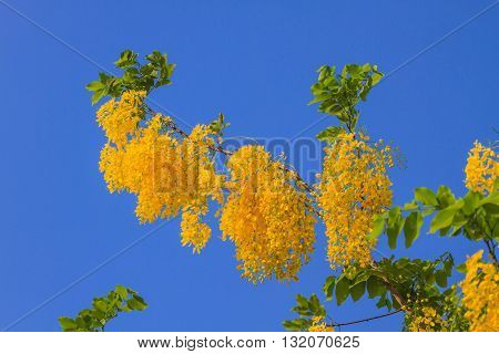 Cassia Fistula in clear blue sky. national tree of Thailand in summer