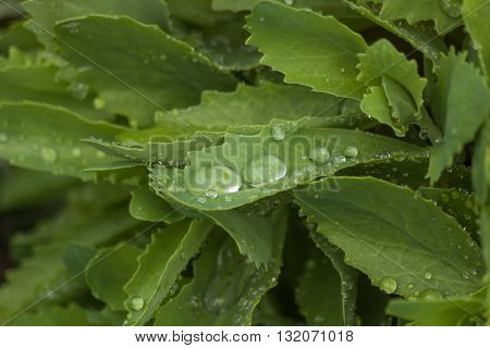 Shining drops on green foliage. Floral background