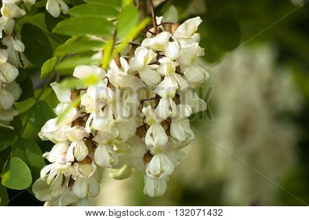 white fragrant acacia branch. Floral nature background