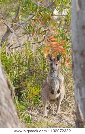 Young Western Grey Kangaroo standing between tree in the wild forest in Naracoorte, limestone coast region of South Australia