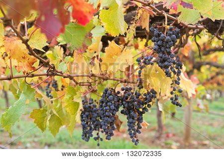 Selective focus of very ripened mature wine grapes growing on limestone coast in Coonawarra winery, during Autumn in Australia